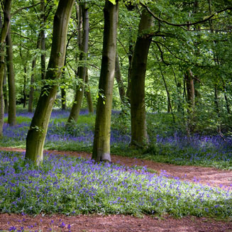 image of bluebells